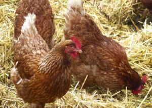 鶏肉の種類はいくつ?