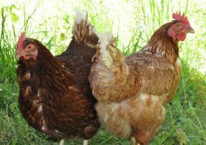 水郷赤鶏の特徴